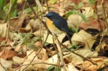 Nilgiri Blue Robin, Palani