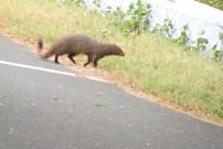 Brown Mongoose, Anaimalai Hills