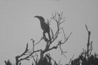 Malabar Grey Hornbill, Anaimalai Hills