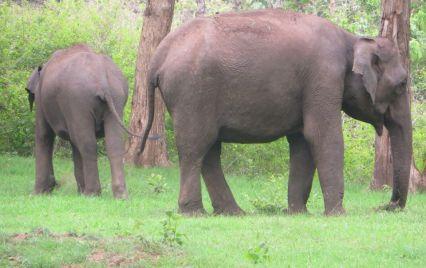 Indian Elephants, Masinagudi