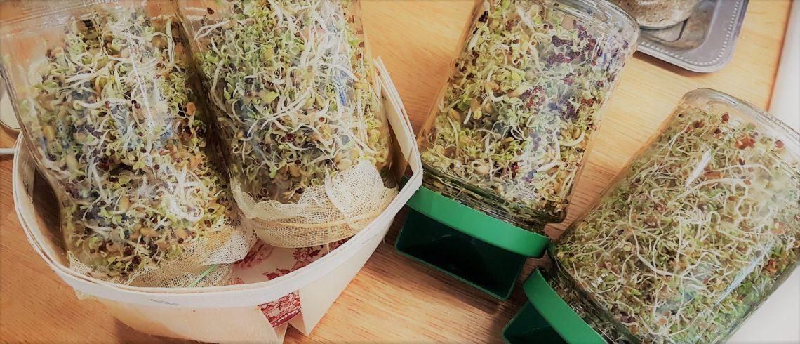Mes bocaux germoir pour graines germées. Bocaux fabriqués maison avec de la gaze et bocaux Germline
