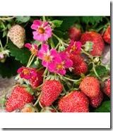 fraisier vivarosa