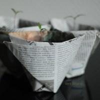 Petits pots de papiers pour petites pousses de tomates