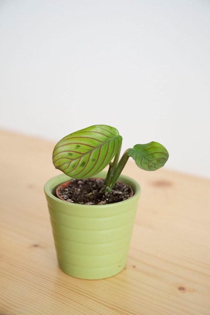bouture plante dinterieur maranta