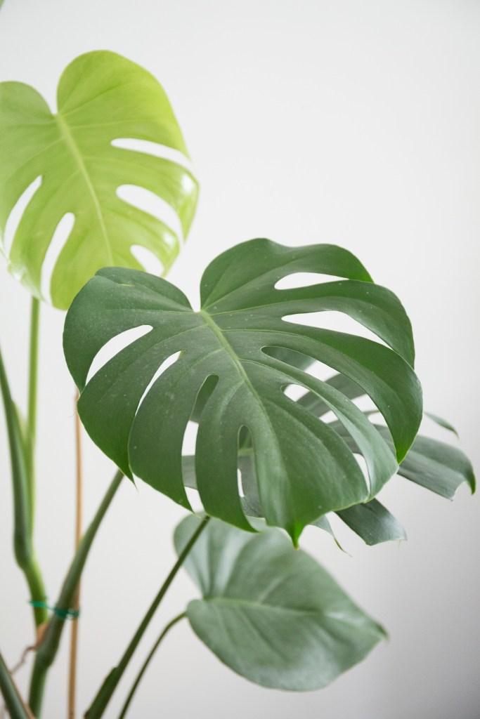 interieur grande plante feuille