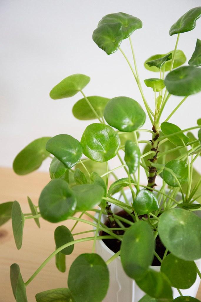 interieur plante pilea