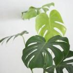 monstera grande plante