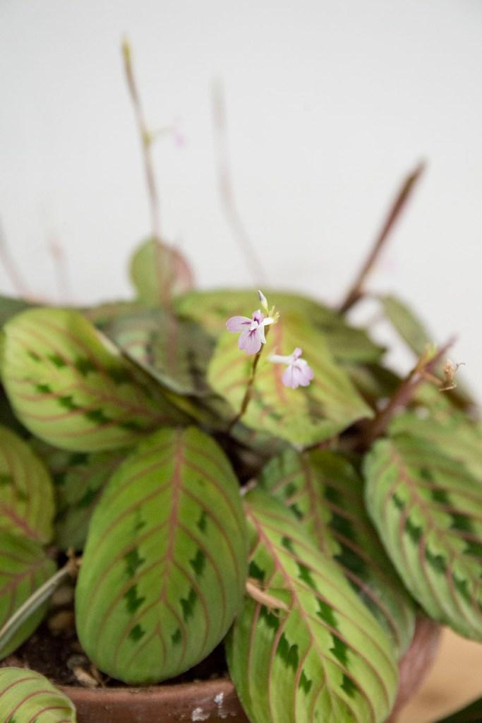 plante interieur maranta fleur