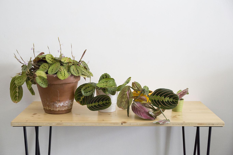 plante maranta