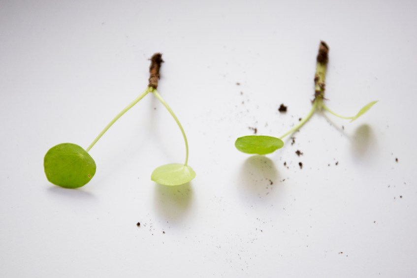 bouture pilea plante