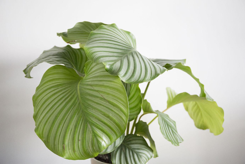 calathea plante ombre