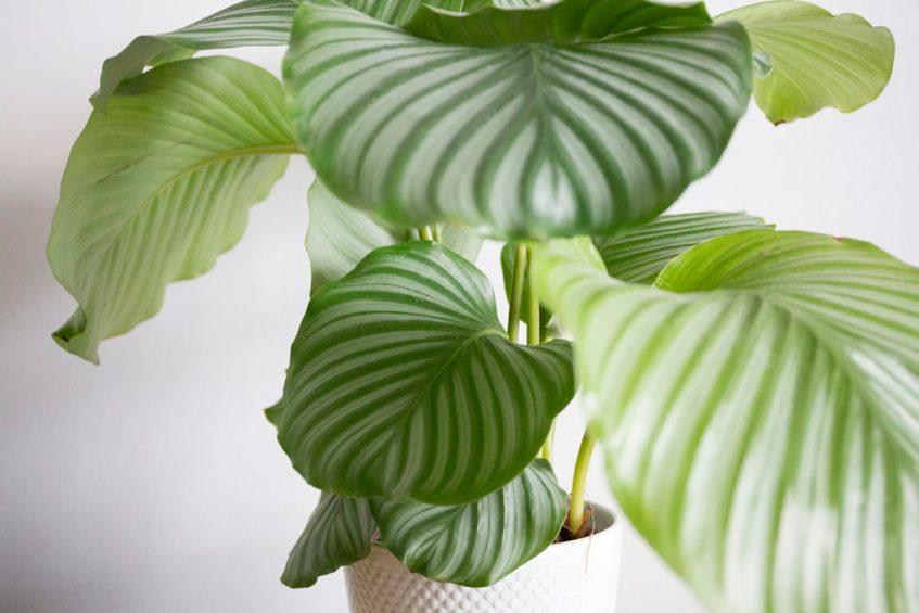 interieur plante calathea orbifolia