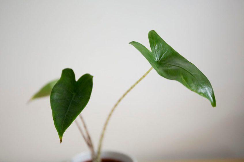 alocasia plante zebrina
