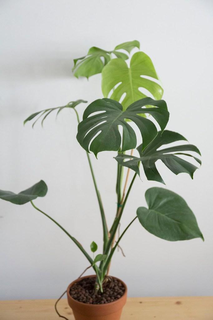 plante depolluante philodendron