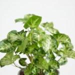 interieur plante syngonium