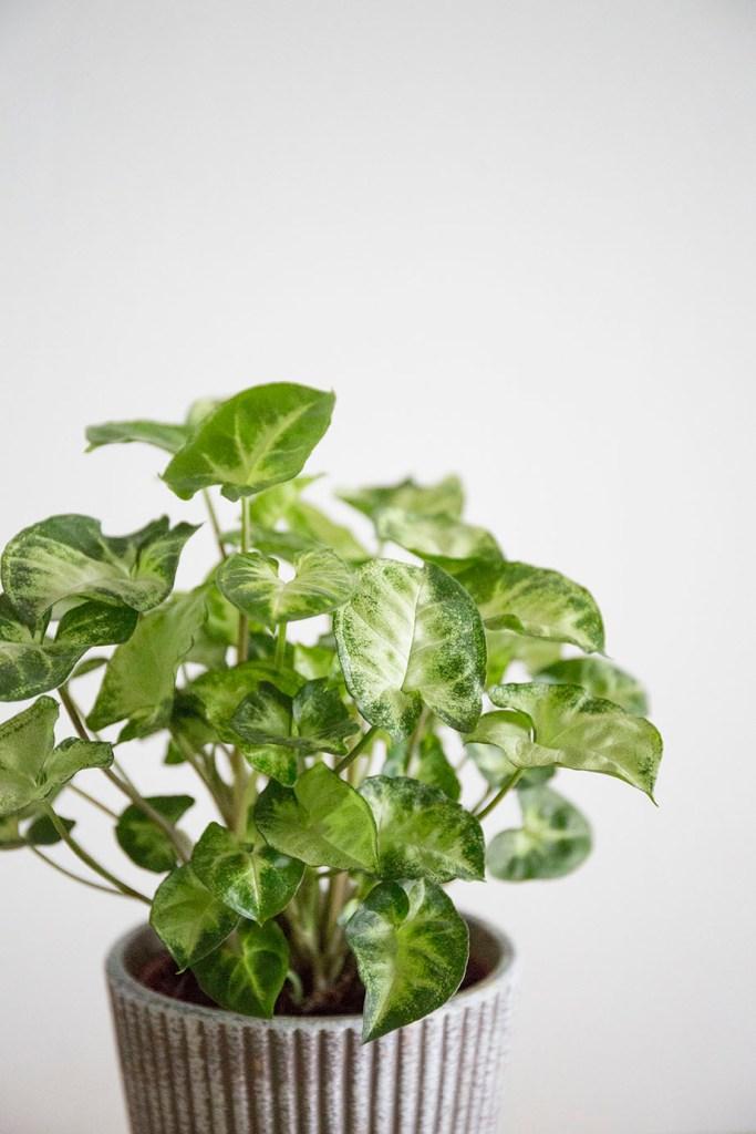 plante interieur syngonium