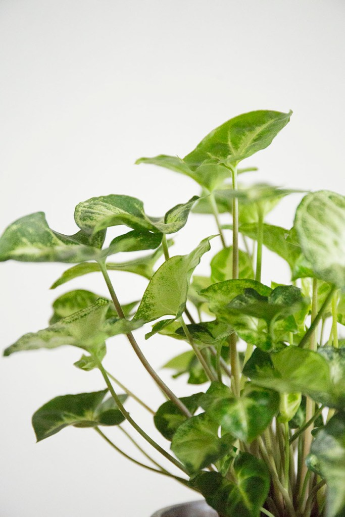 plante syngonium interieur