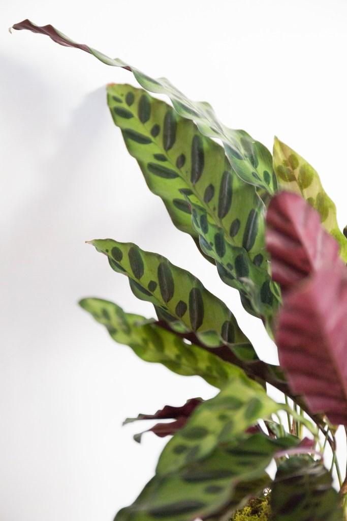 plantes leon george