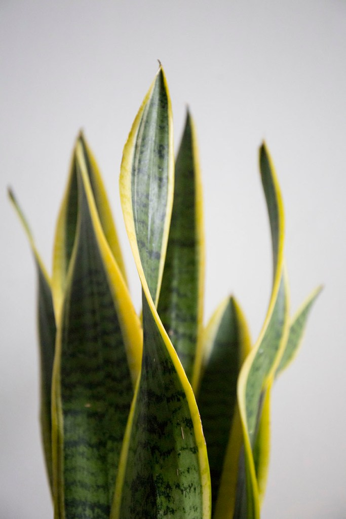 verte plante sansevieria