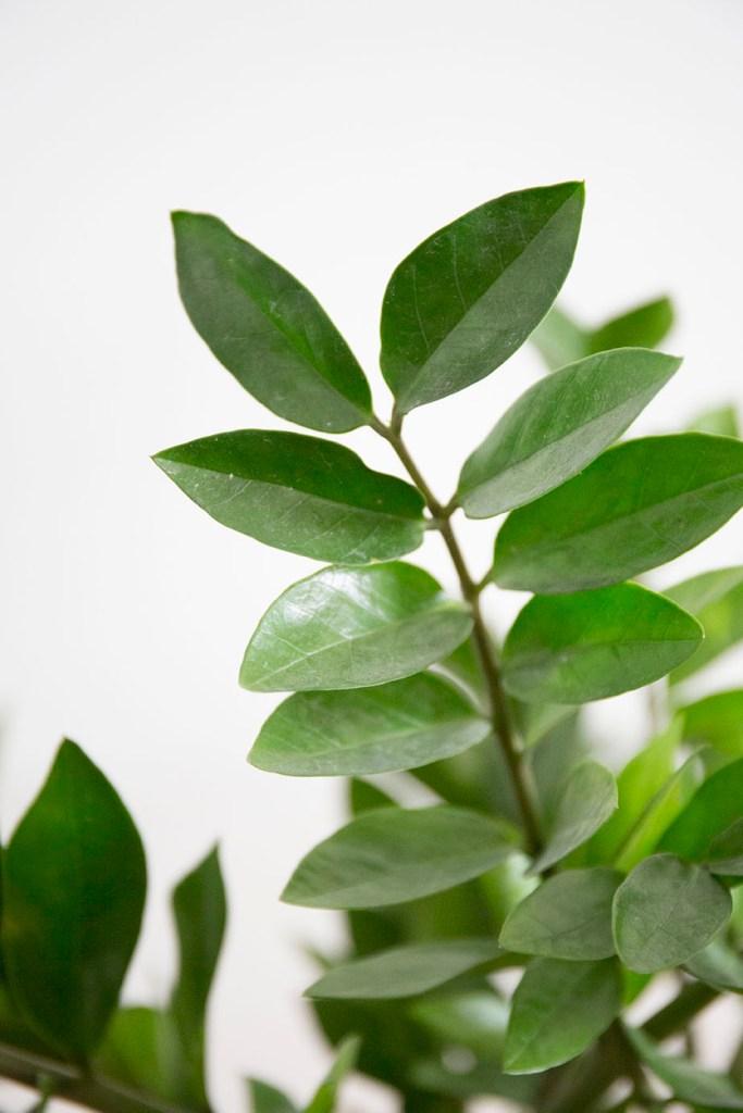 zamioculcas verte plante