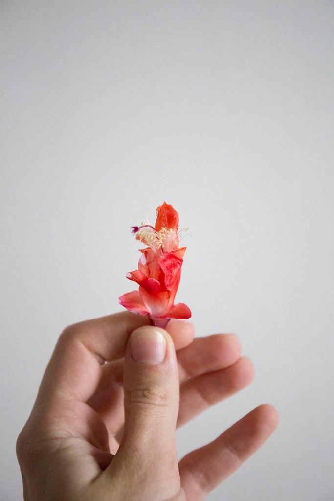 cactus de noel fleur