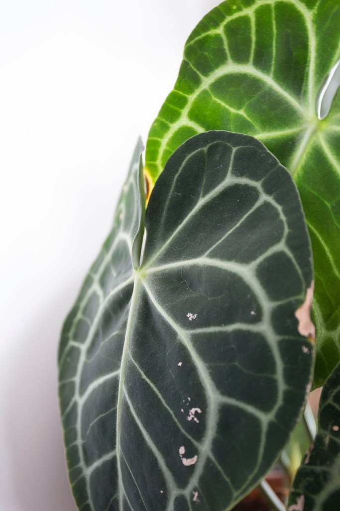 anthuriums verte plantes
