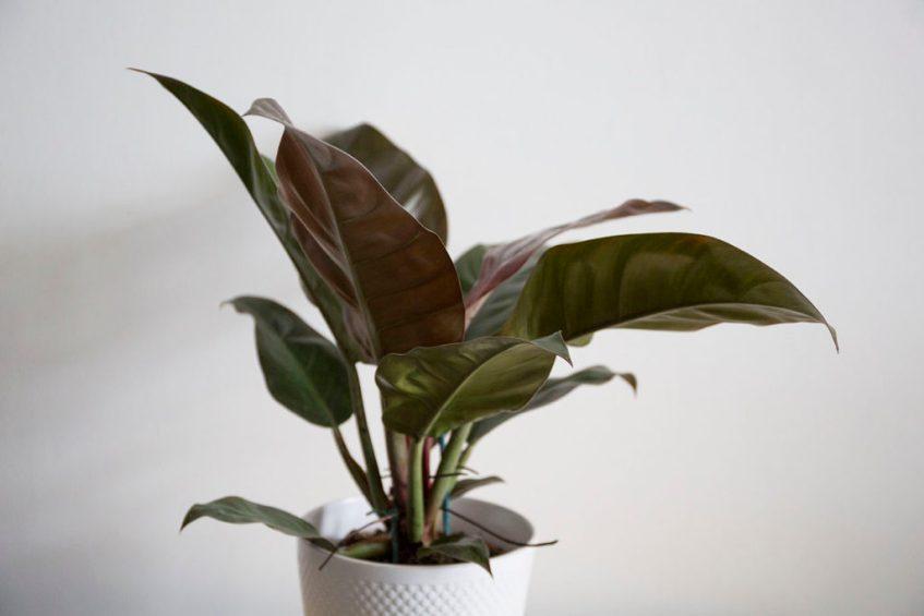 interieur philodendron plantes