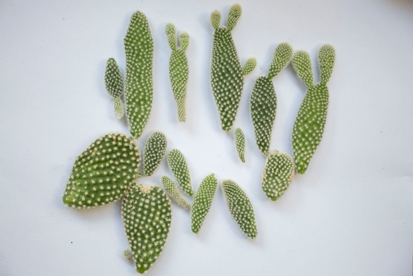 cactus boutures plantes