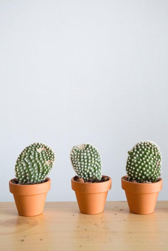 cactus plante bouture