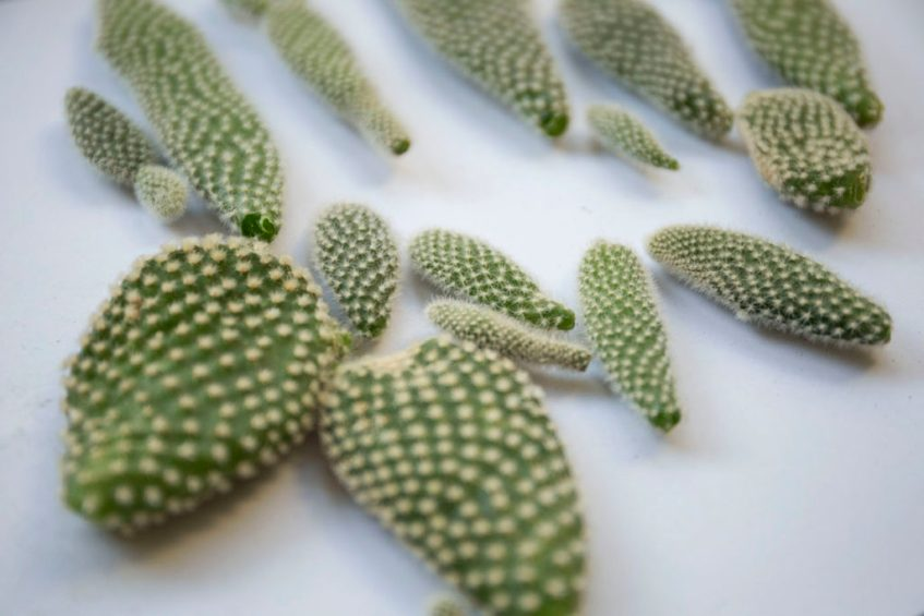 plantes boutures cactus