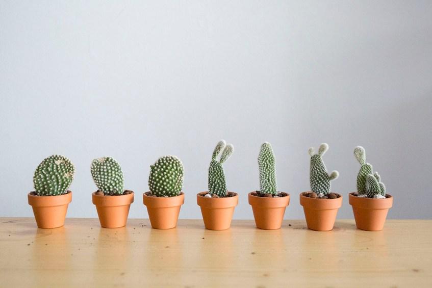 plante boutures raquette