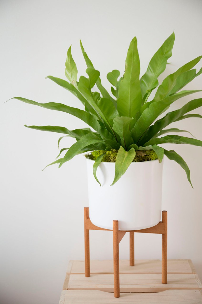 asplenium nidus plante verte