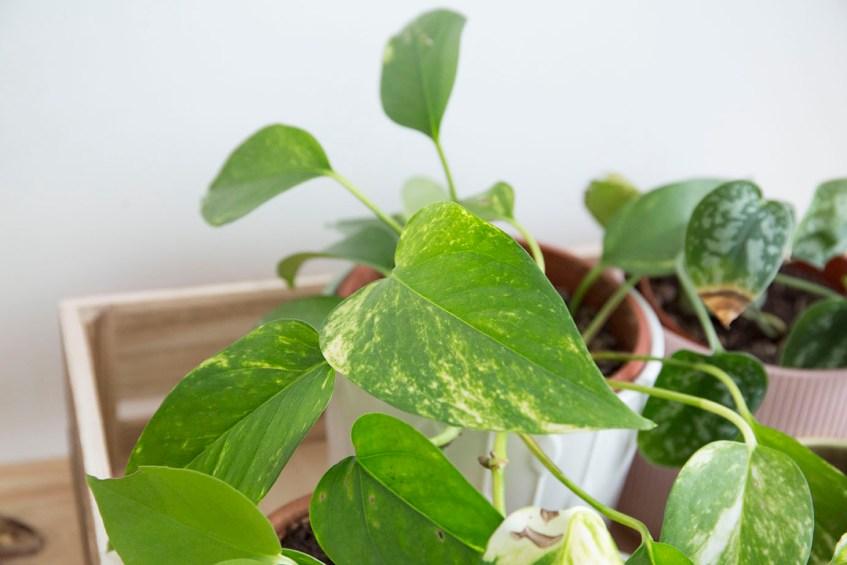 interieur pothos plante