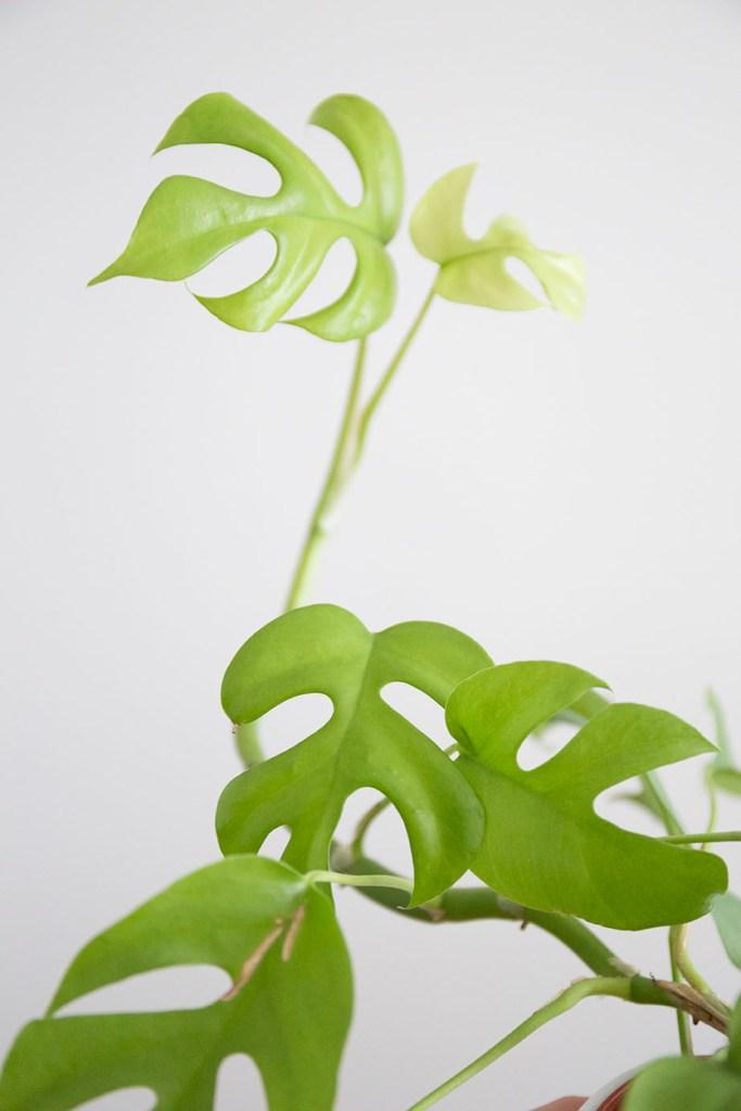 pincer plantes intérieur