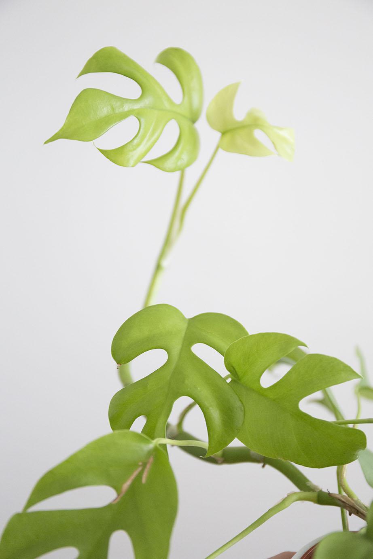 Arbre Fruitier D Intérieur pourquoi pincer tes plantes d'intérieur ? - vert bobo