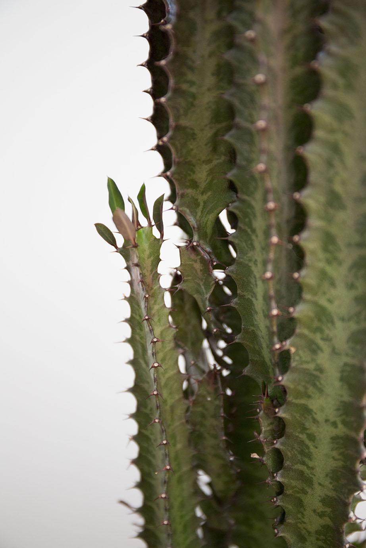 bouture euphorbe cactus