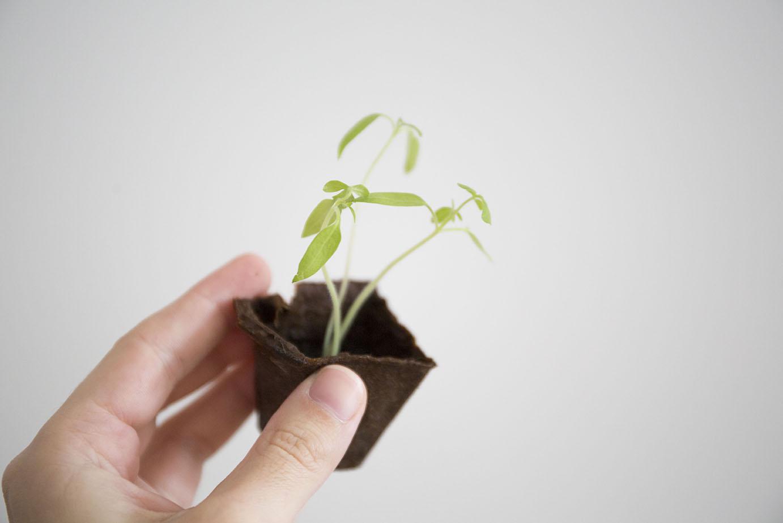 repiquage semis potager