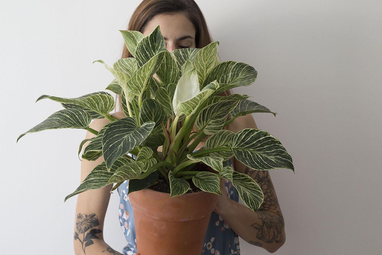 philodendron birkin plante