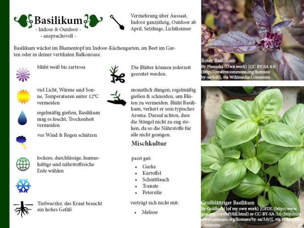 Pflanzenporträt Basilikum
