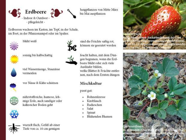 Pflanzenporträt Erdbeere
