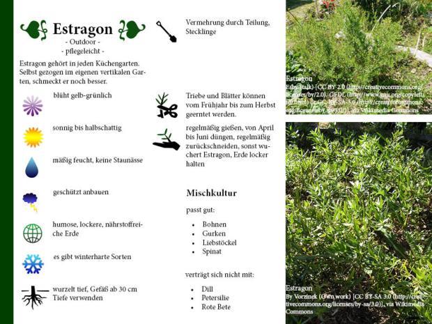 Pflanzenporträt Estragon