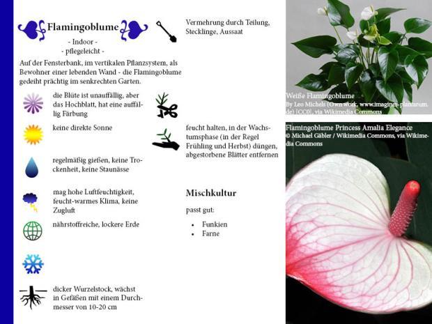 Pflanzenporträt Flamingoblume