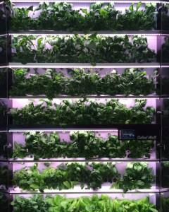 Das Foto von Christine Zimmermann-Lössl zeigt einen Ausschnitt einer vertikalen Pflanzung verschiedener Blattgemüsesorten.Salat