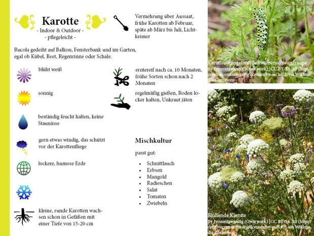 Pflanzenporträt Karotte