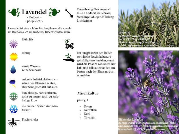 Pflanzenporträt Lavendel