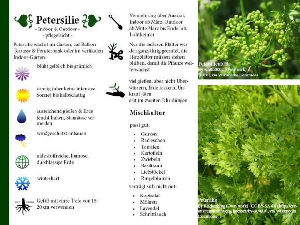Pflanzenporträt Petersilie