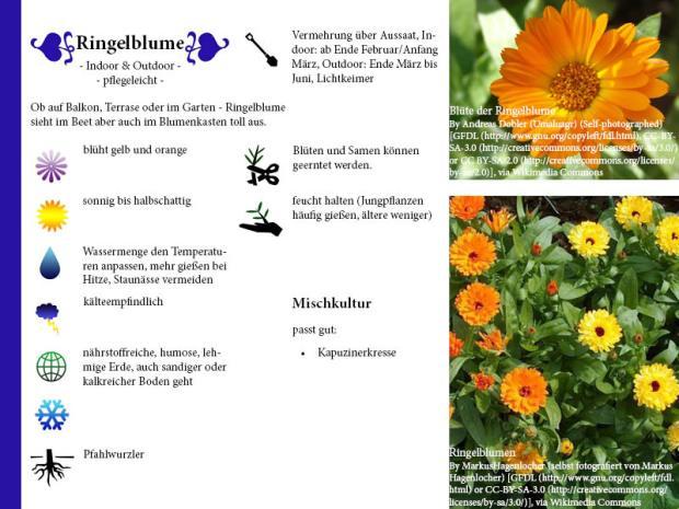 Pflanzenporträt Ringelblume