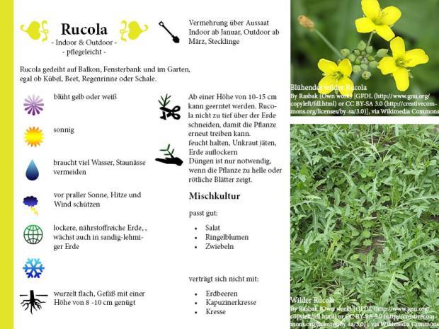 Pflanzenporträt Rucola