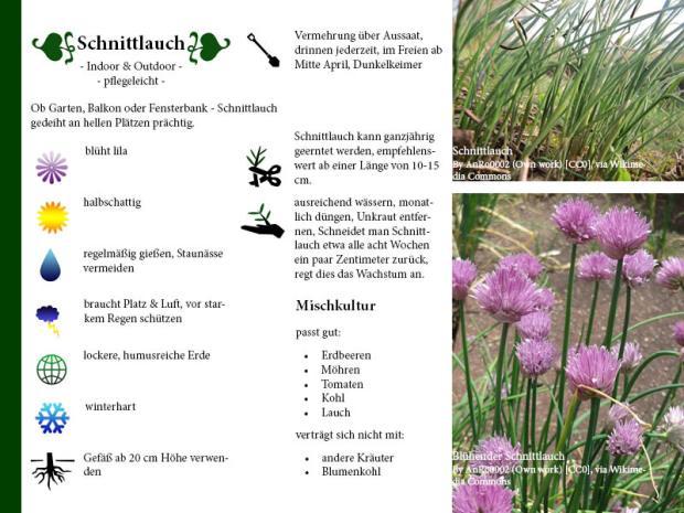 Pflanzenporträt Schnittlauch