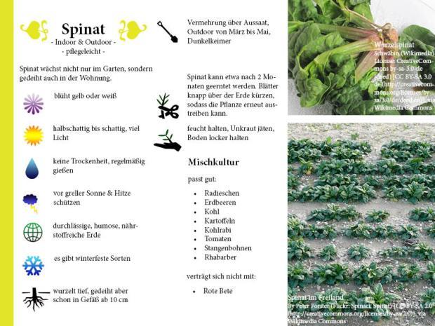 Pflanzenporträt Spinat